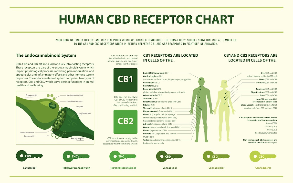 Human-CBD-Receptor-Chart-Three-Things-to-Look-For